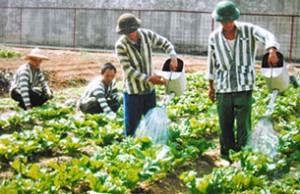 Một cảnh trồng rau trong nhà tù. Ảnh chỉ mang tính minh họa