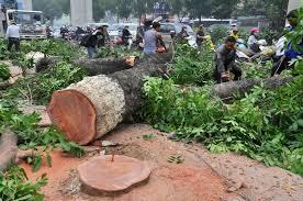 Chặt cây xanh trên đường Nguyễn Trãi.