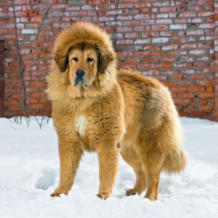Con chó ngao 2 triệu đô. Ảnh báo nld