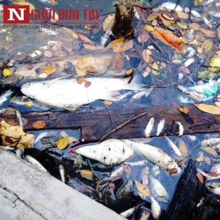 Cá chết hàng hoạt ở Vũng Áng