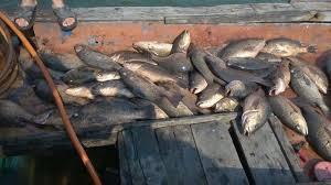 Cá chết hàng loạt ở Vũng Áng. Ảnh Dân Việt